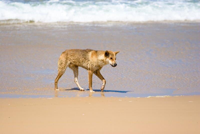 Wilder Dingo auf Strand stockbild