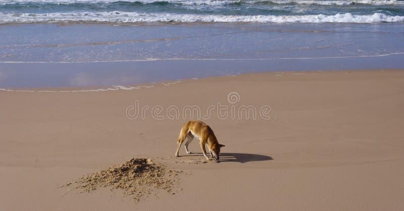 Wilder Dingo, Fraser Insel, Australien lizenzfreie stockfotografie