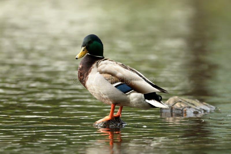 Wilder Duck Drake Mallard stockfoto