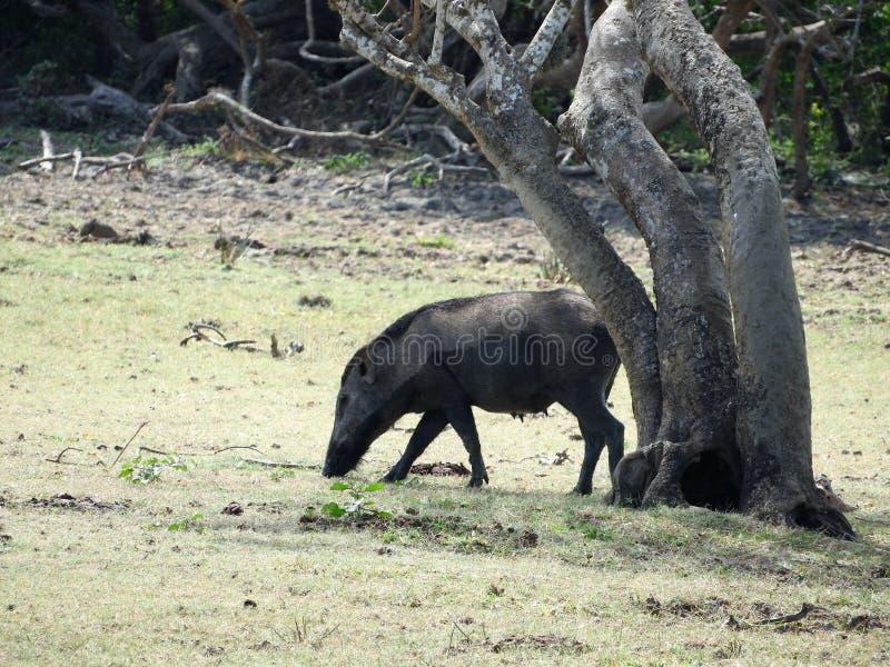 Wilder Eber, der in den Wald am nebelhaften Morgen geht Wild lebende Tiere in seinem natürlichen Lebensraum lizenzfreies stockfoto