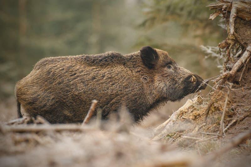 Wilder Eber im eisigen Wald stockfotografie