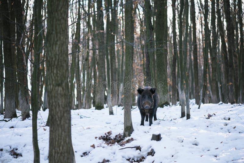 Wilder Eber im Wald stockfotografie