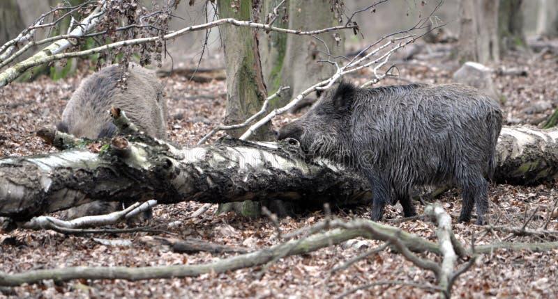 Wilder Eber im Wald stockbild