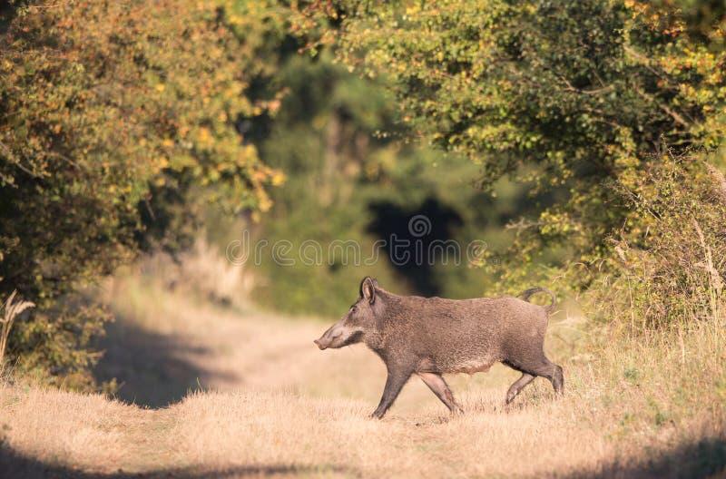 Wilder Eber im Wald lizenzfreies stockfoto