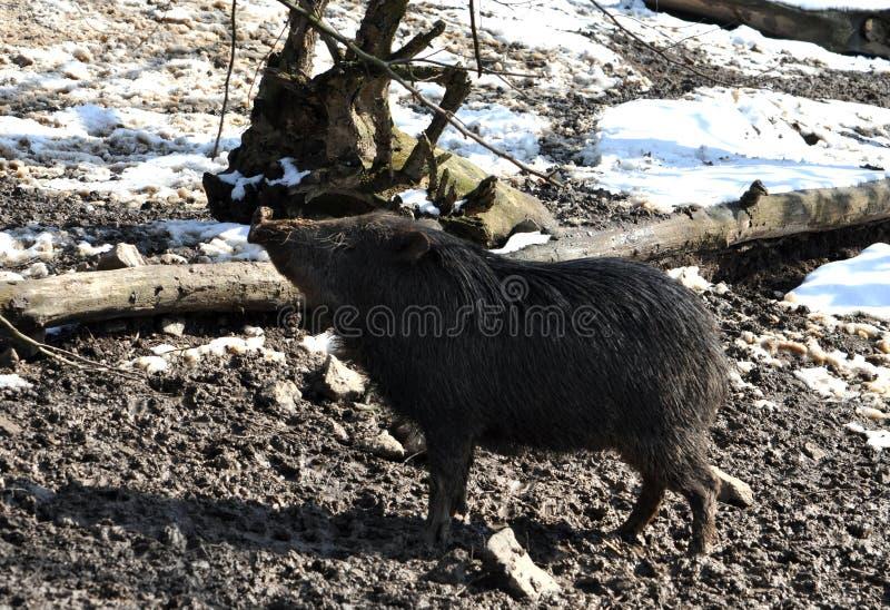 Wilder Eber im Winter lizenzfreie stockfotografie