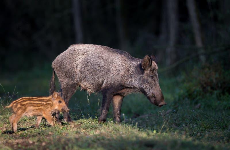 Wilder Eber mit Ferkel im Wald stockfotos