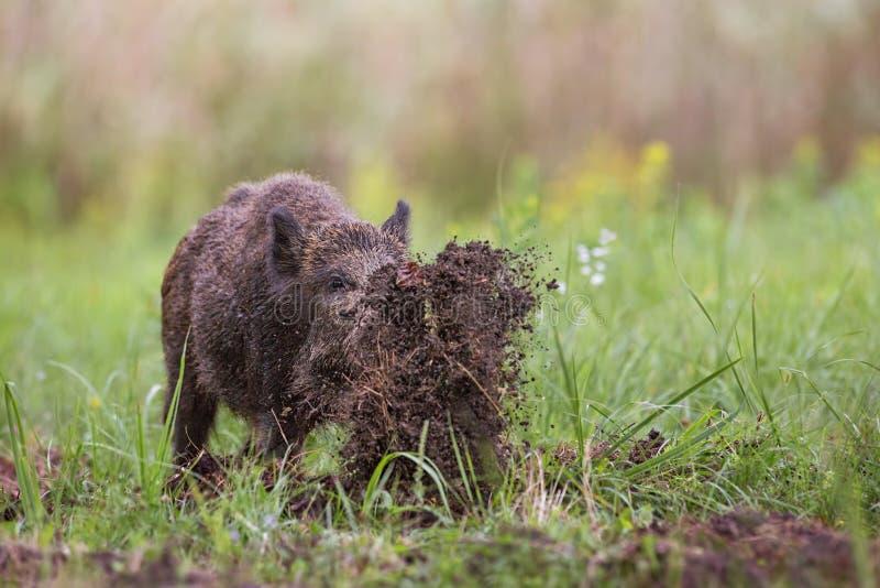 Wilder Eber, Sus scrofa, herum grabend auf einen werfenden Schlamm der Wiese mit seiner Nase lizenzfreie stockfotografie