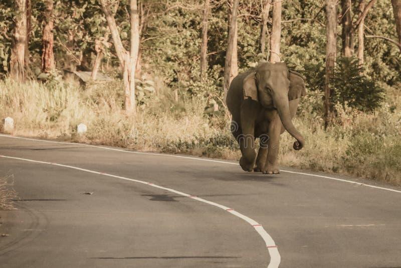 Wilder Elefant, der auf Straße, Sri Lanka geht stockfotografie