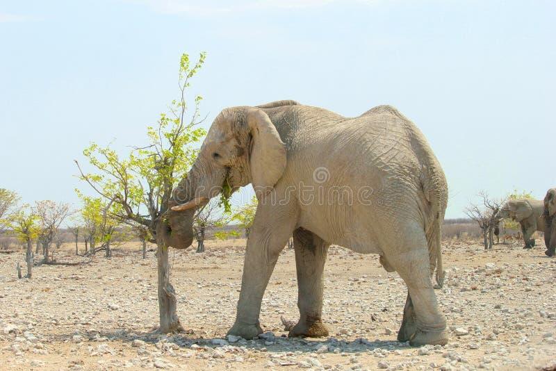 Wilder Elefant, der Blätter, Namibia isst stockfotografie