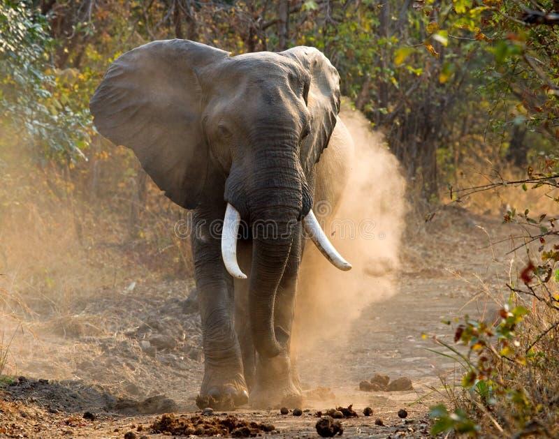 Wilder Elefant wirft das Staub Sambia Südluangwa Nationalpark stockfotos