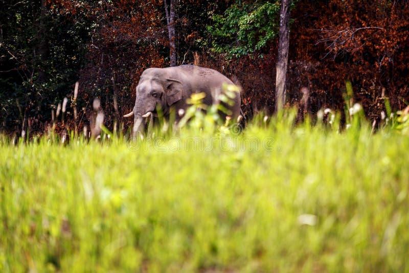 Wilder Elefantweg ?ber der Stra?e an Nationalpark Thailand Khaoyai stockfoto