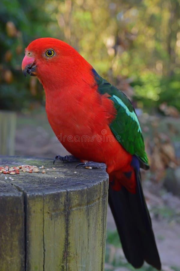 Wilder erwachsener Mannesaustralischer König Parrot, das auf gehacktem Baumstamm mit Lebensmittelkugelzufuhr stillsteht stockbild