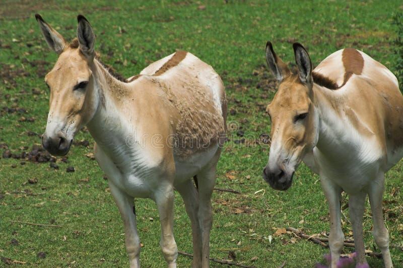 Wilder Esel (Equus hemionus khur) - DubboZoo NSW lizenzfreies stockbild