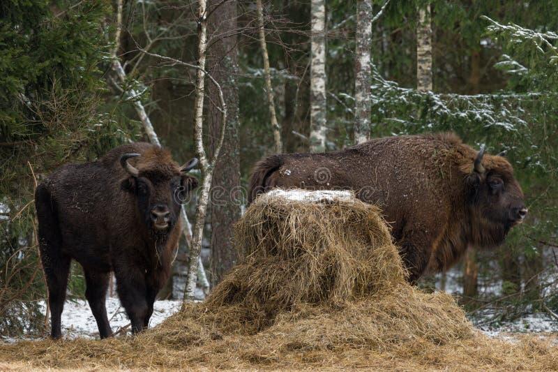 Wilder Europäer Bison Graze Near ein Heuschober am Rand eines Winters Forest Two Bison Aurochs Standing nahe der Fütterungsplattf stockfoto