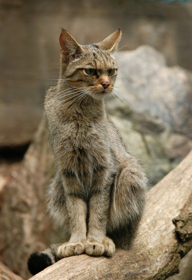 wilder europejskich kota obrazy stock
