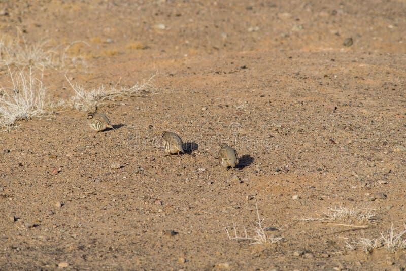 Wilder Fasan morgens Trockener Sand für Lebensmittel lizenzfreies stockbild