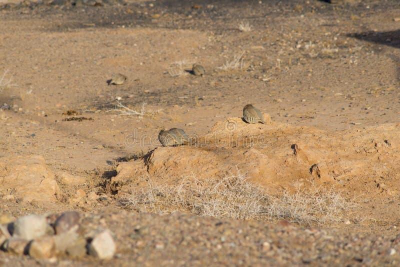 Wilder Fasan morgens Trockener Sand für Lebensmittel lizenzfreie stockbilder