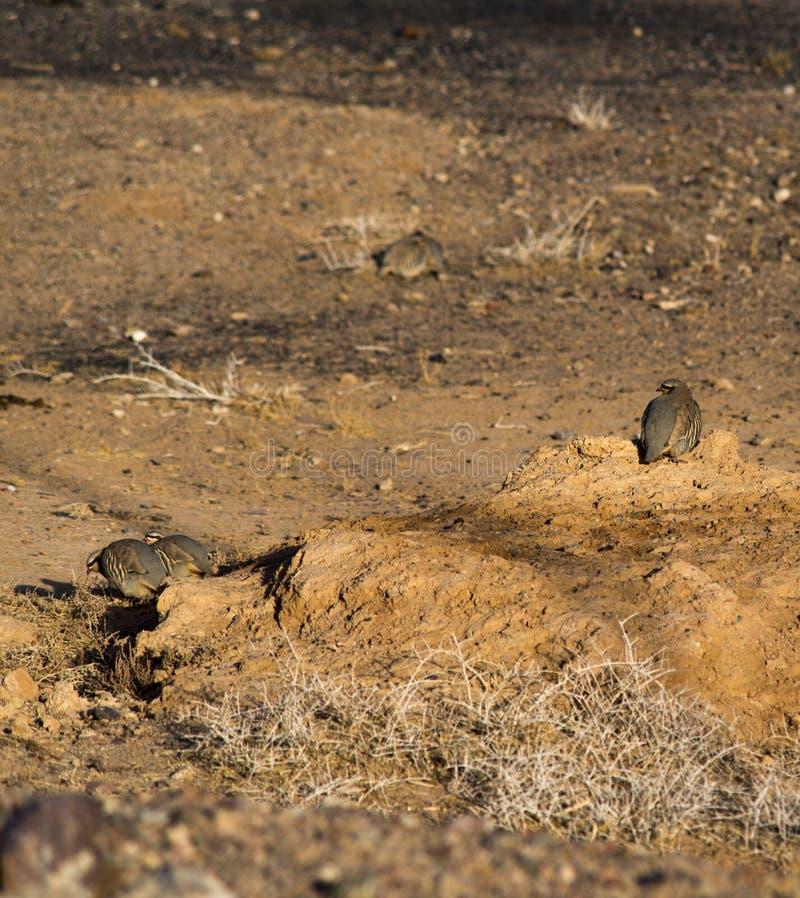 Wilder Fasan morgens Trockener Sand für Lebensmittel lizenzfreie stockfotos