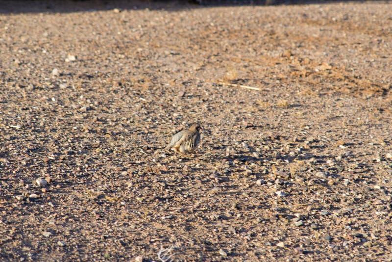 Wilder Fasan morgens Trockener Sand für Lebensmittel lizenzfreie stockfotografie