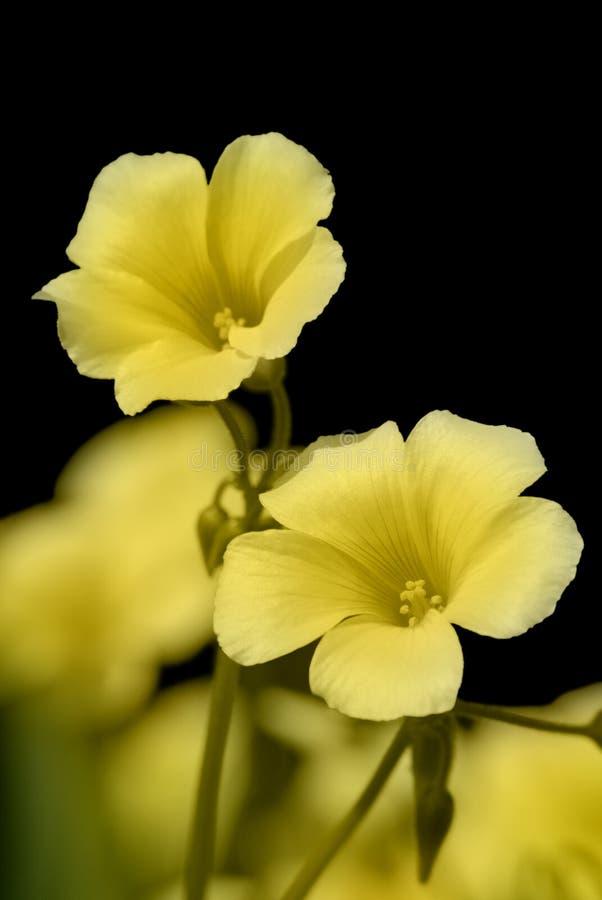 Wilder Frühlings-Klee in der Blüte lizenzfreie stockbilder