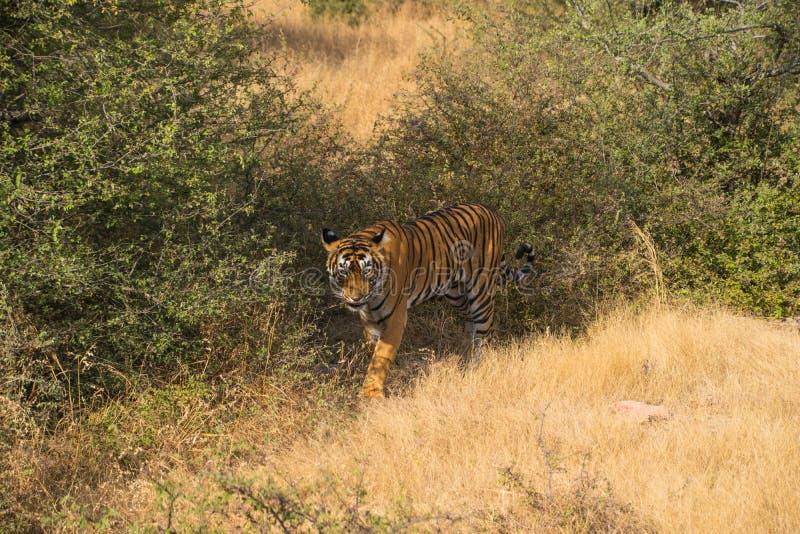 Wilder freier Inder Tiger Ranthambore lizenzfreie stockfotografie