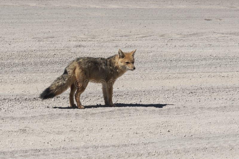 Wilder Fuchs in der Siloli-Wüste, Teil des Reserva Eduardo Avaroa, Bolivien - an einer Höhe von 4600m lizenzfreies stockbild