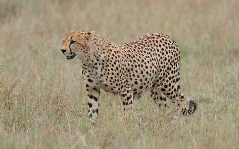 Wilder Gepard stockfoto