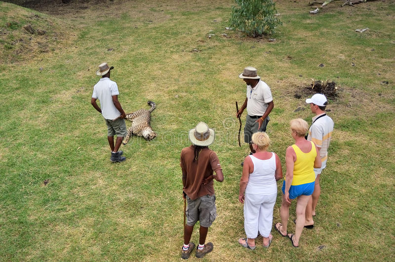 Wilder Gepard in Casela-Park, Mauritius stockbilder
