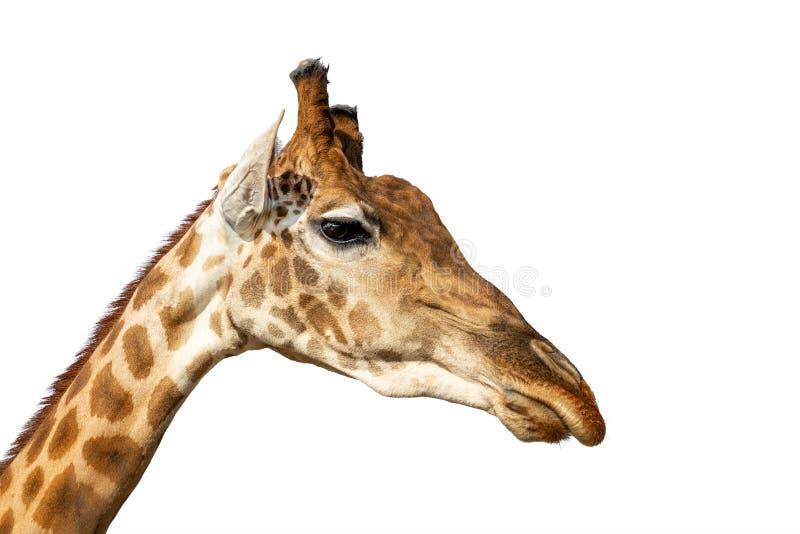 Wilder Giraffenkopf des Nahaufnahmeafrikaners lokalisiert auf Weiß stockbilder