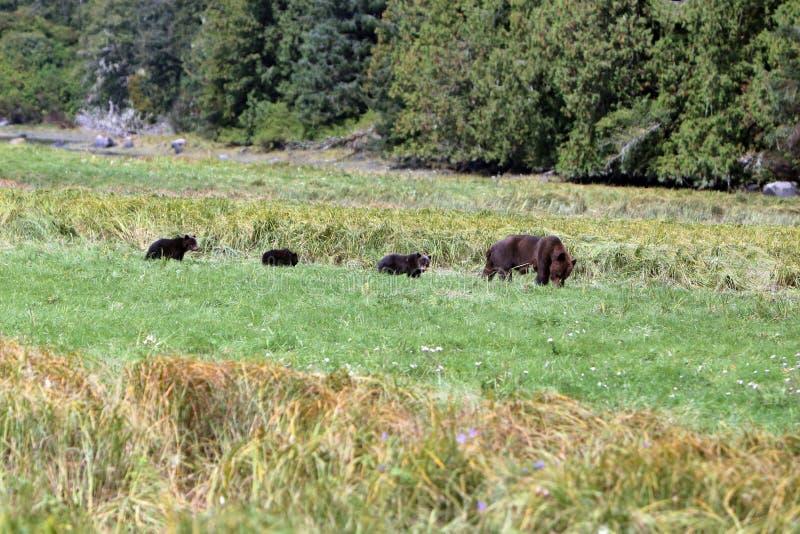 Wilder Graubär Bear4 stockbild