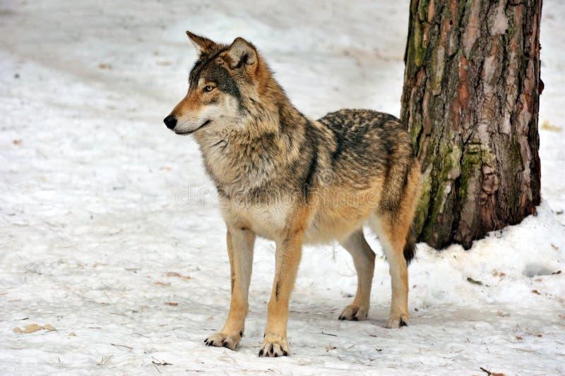 Wilder grauer Wolf im Winterwald lizenzfreie stockfotografie