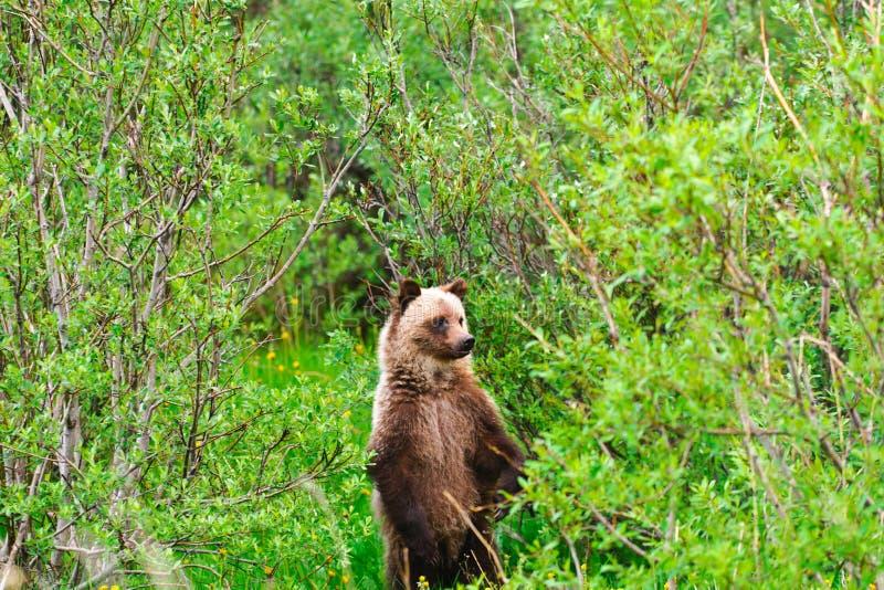 Wilder Grizzlybär lizenzfreie stockfotos