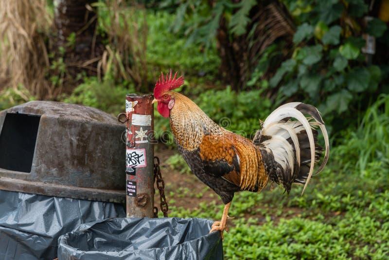 Wilder Hahn auf Kauai die Mülltonneschätze erforschend stockfoto
