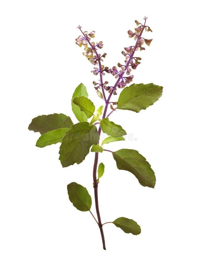 Wilder heiliger Basilikum Tulasi in der Blume getrennt lizenzfreies stockfoto