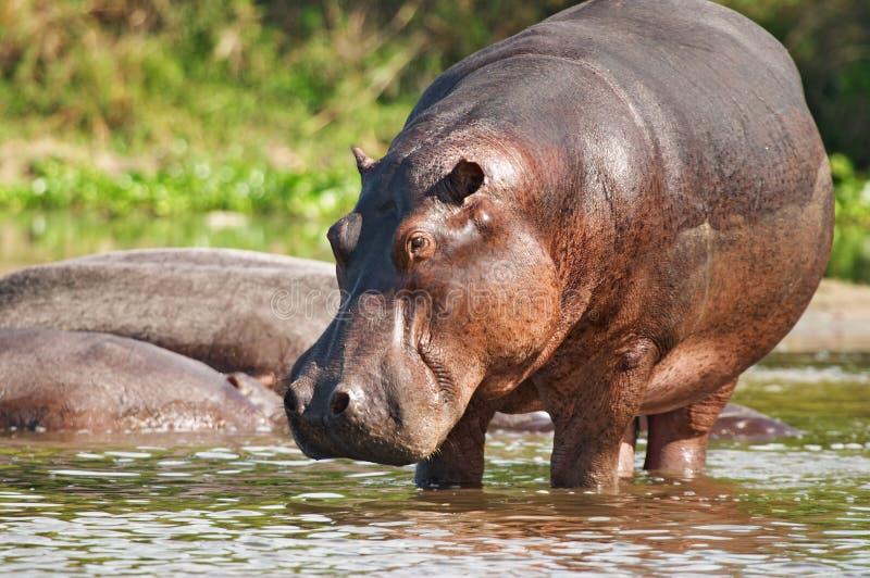 wilder hipopotam obraz royalty free