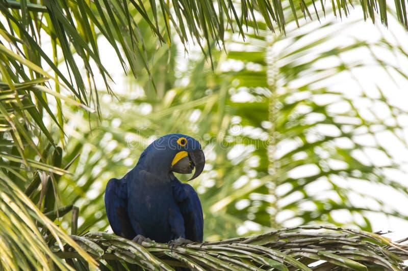 Wilder Hyacinth Macaw auf Palme mit dem Kopf gedreht lizenzfreies stockfoto