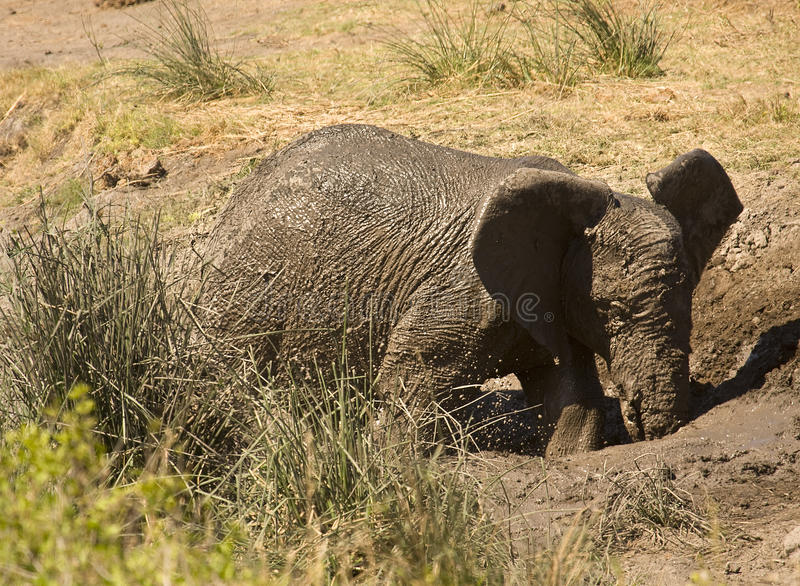 Wilder junger, afrikanischer Elefant, der im Schlamm, Nationalpark Kruger, Südafrika spielt lizenzfreie stockfotos
