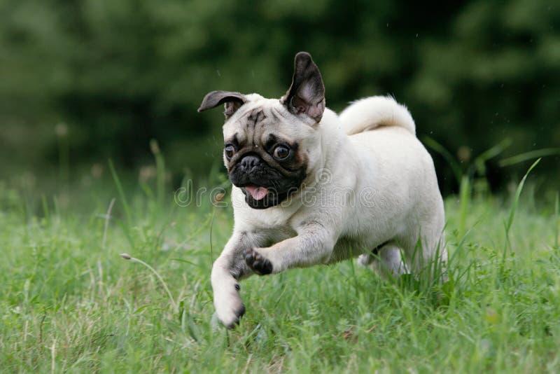 Wilder junger Pug stockfoto