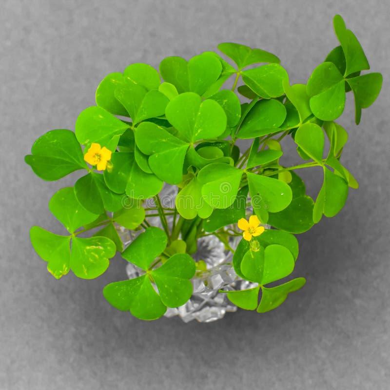 Wilder Klee verlässt mit gelben Blumen lizenzfreies stockbild