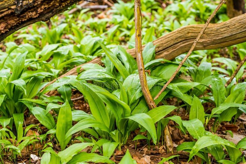 Wilder Knoblauch, der in einem unverdorbenen Waldland wächst lizenzfreie stockfotos