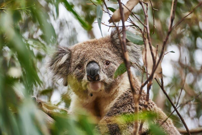 Wilder Koala lizenzfreie stockfotografie