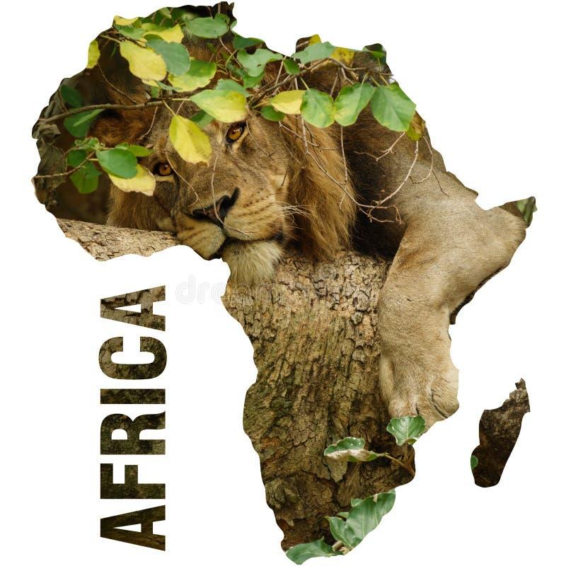 Wilder Löwe über Baumast und Afrika-Kontinententwurf stockbilder