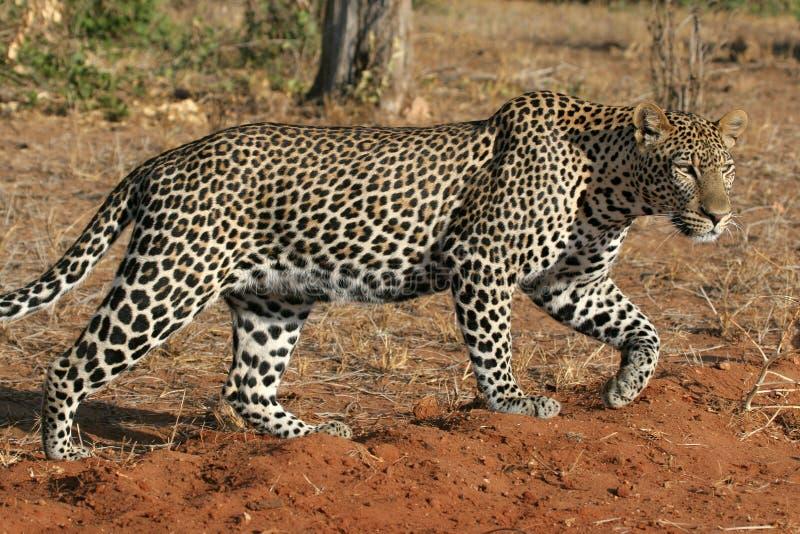 Wilder Leopard stockfoto