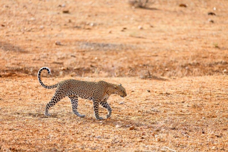 Wilder Leopard in Afrika stockbilder