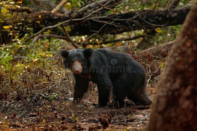 Wilder Lippenbär, Melursus ursinus, im Wald Nationalparks Wilpattu, Sri Lanka Lippenbär, der direkt entlang der Kamera, wild anst lizenzfreie stockfotos