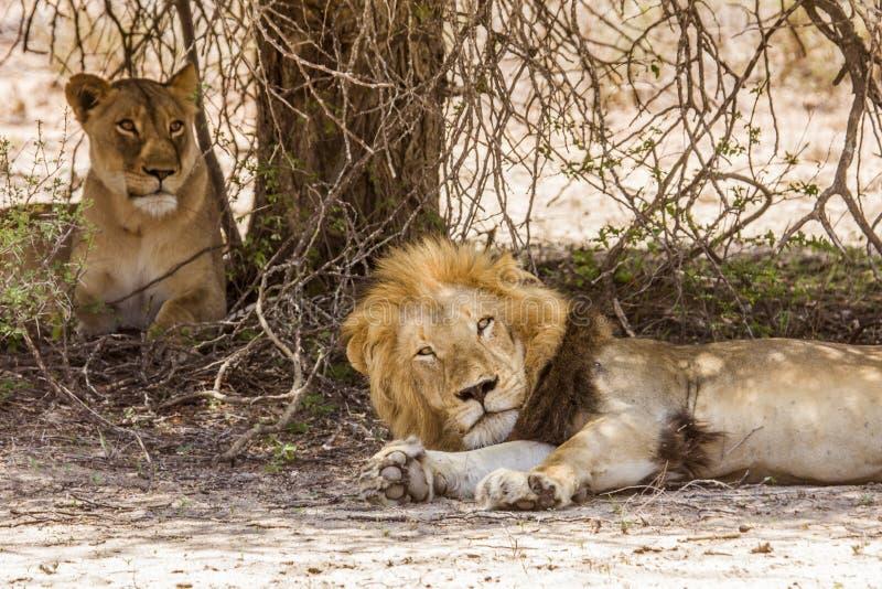 Wilder männlicher Löwe, der ein Haar in der Savanne, in Kruger-Park hat stockfotografie