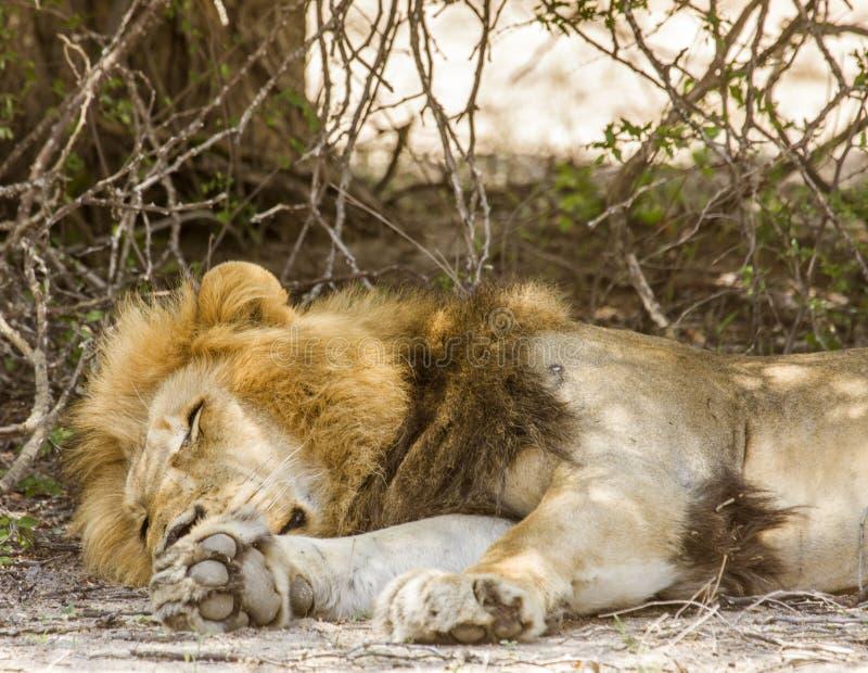 Wilder männlicher Löwe, der ein Haar in der Savanne, in Kruger-Park hat stockfoto