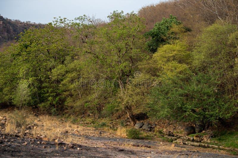 Wilder männlicher Tiger, der sein Gebiet und auf Spaziergang in Hintergrund ranthambore Hügeln patrouilliert stockfotografie