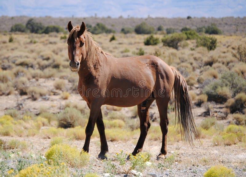 Wilder Mustang stockfotos