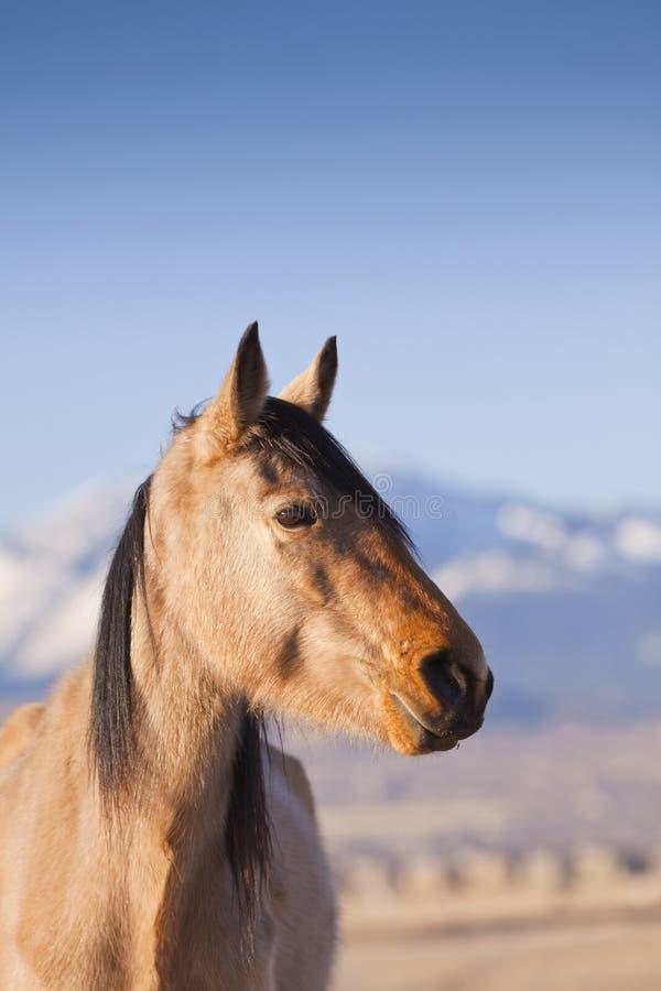 Wilder Mustang lizenzfreie stockfotos